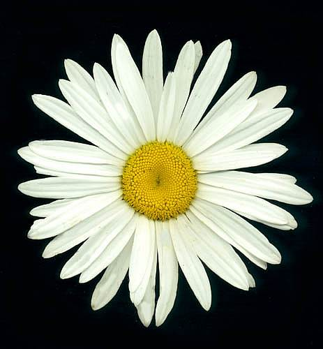 SHASTA DAISY - Chrysanthemum maximum 'Alaska'