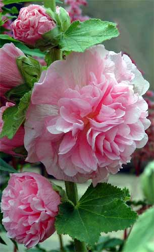 DOUBLE  HOLLYHOCK - Alcea rosea plena 'Chaters Mix'