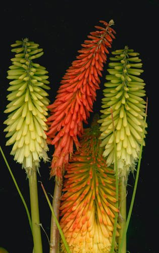 RED HOT POKER - Kniphofia uvaria 'Grandiflora Mix'
