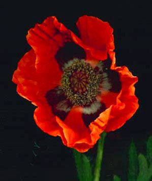 ORANGE ORIENTAL POPPY - Papaver orientale 'Brilliant'