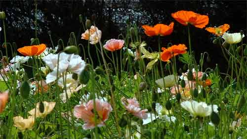 ICELAND POPPY - Papaver nudicaule 'Mixed'