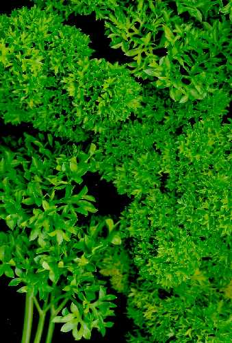 PARSLEY CURLY - Petroselinum crispum 'Smaragd'