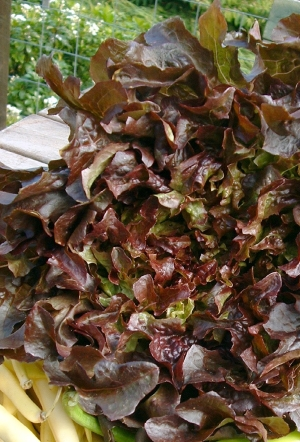 Lettuce 'Red Salad Bowl' - Lactuca sativa