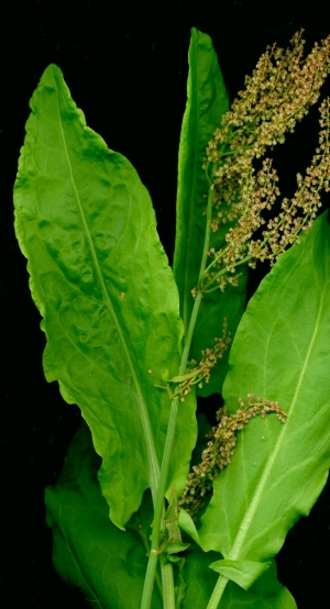 Sorrel, French - Rumex acetosa