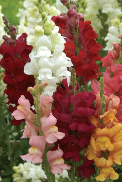 Snap Dragons - Antirrhinum majus 'Panorama Mixed'