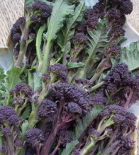 BROCCOLI 'Purple Sprouting' - Brassica oleracea var. Italic