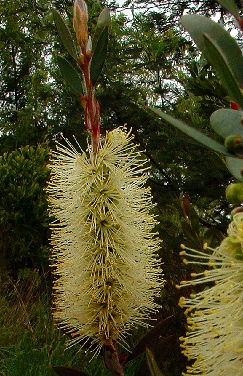 Yellow Bottlebrush - Callistemon pallidus
