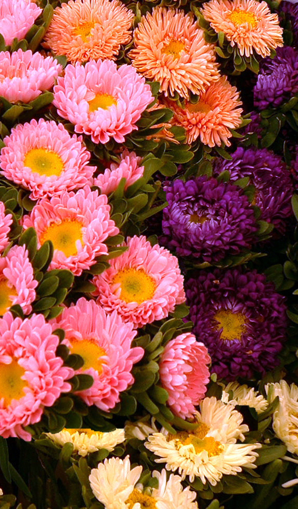 China Aster double 'Crego Giant Mix' - Callistephus chinensis