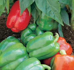 CAPSICUM 'Californian Wonder' - Capsicum annuum