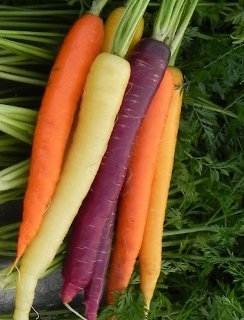 Carrot 'Rainbow Mix'  - Daucus carota var. sativus