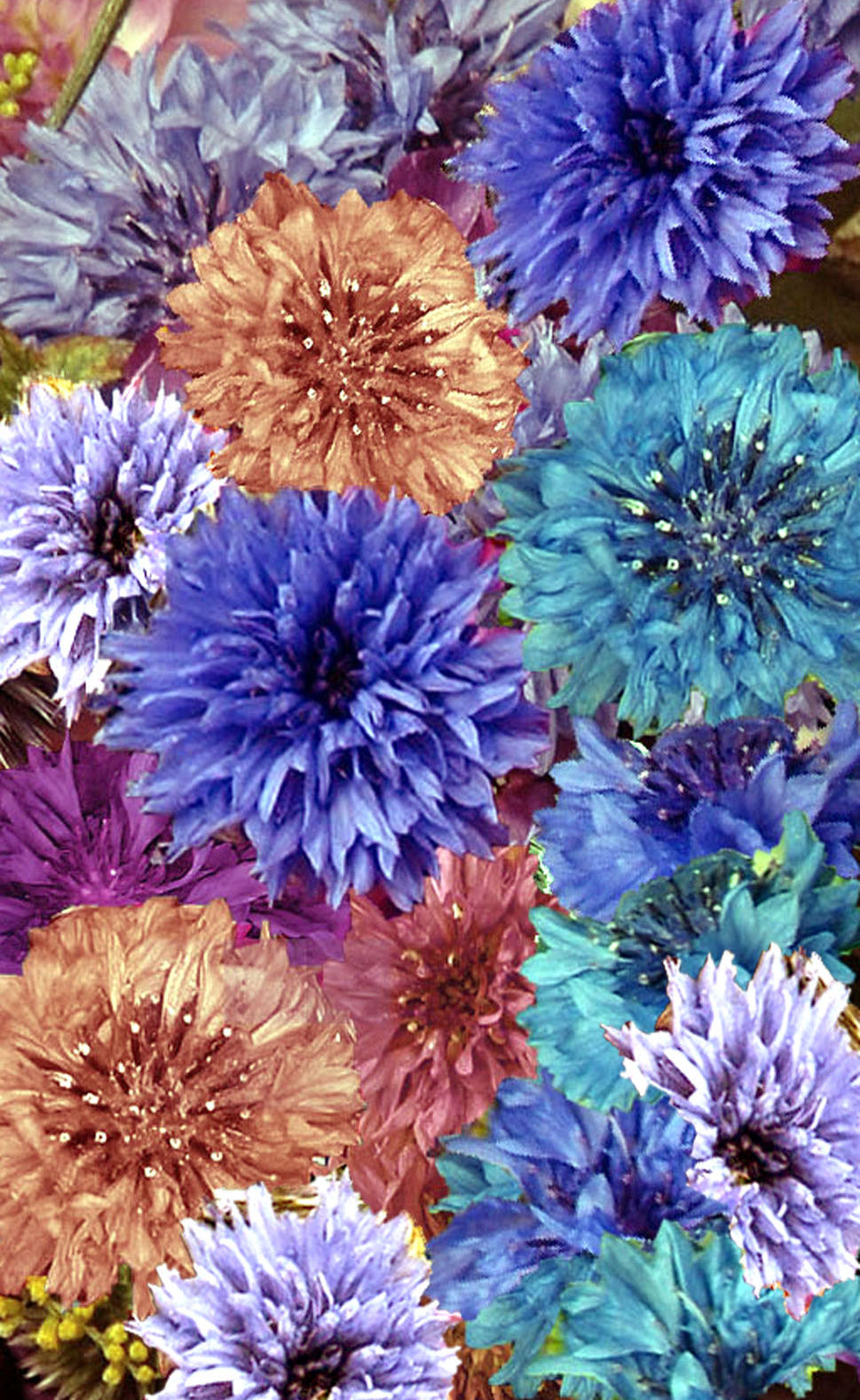 ANNUAL CORNFLOWER 'Double Ball Mix' - Centaurea cyanus