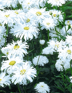 CRAZY DAISY ~ Shasta variety  - Chrysanthemum maximum
