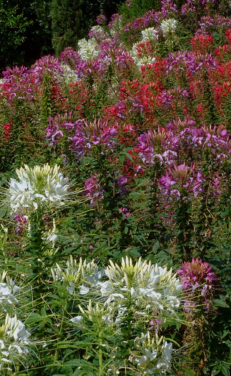 SPIDER FLOWER 'Fountain Mix' - Cleome spinosa (syn. Hasslerianna)