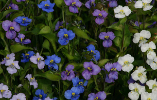 DAY FLOWER 'Ouverture Mix' - Commelina tuberosa