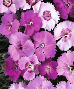 Feathered Pink Dianthus - Dianthus plumaris