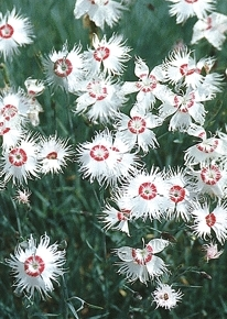 Red Eye Dianthus - Dianthus spiculifolius