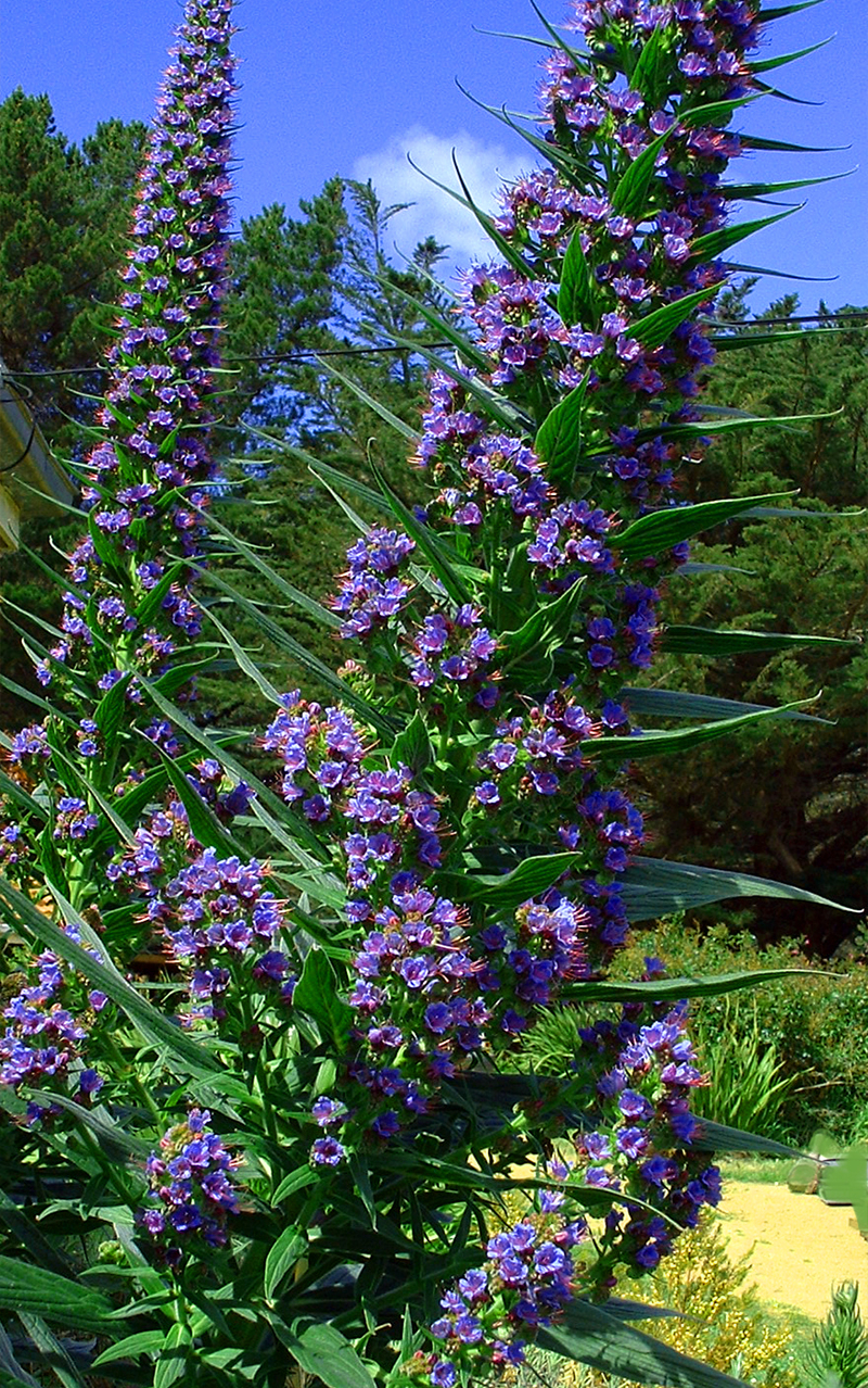 TOWER OF JEWELS - Echium pininana