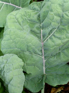 KALE 'Thousand Headed' - Brassica oleracea
