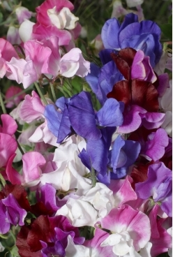 SWEET PEA - Mammoth Choice Mix - Lathyrus odoratus 'Mammoth Choice Mix'