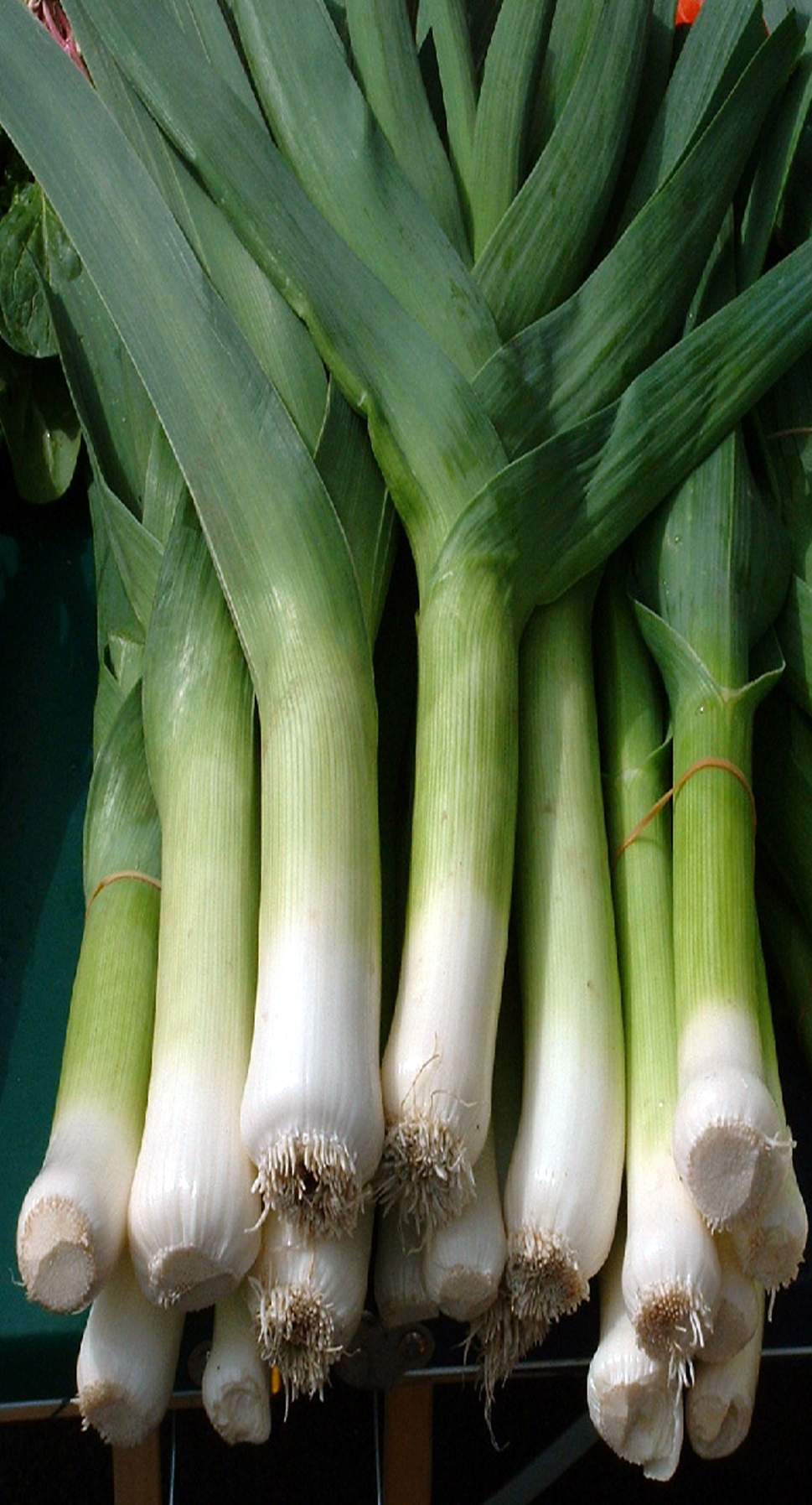 LEEK 'Bulgarian Giant'  - Allium porrum