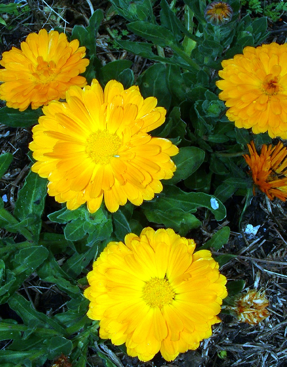 CALENDULA / ENGLISH MARIGOLD - Calendula officinalis