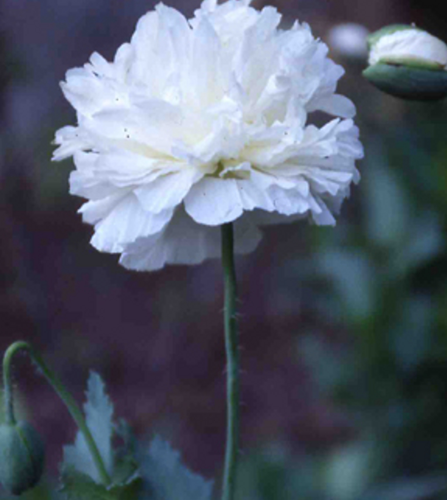 POPPY ~ Peony 'White Cloud'  - Papaver paeoniflorum 'white'