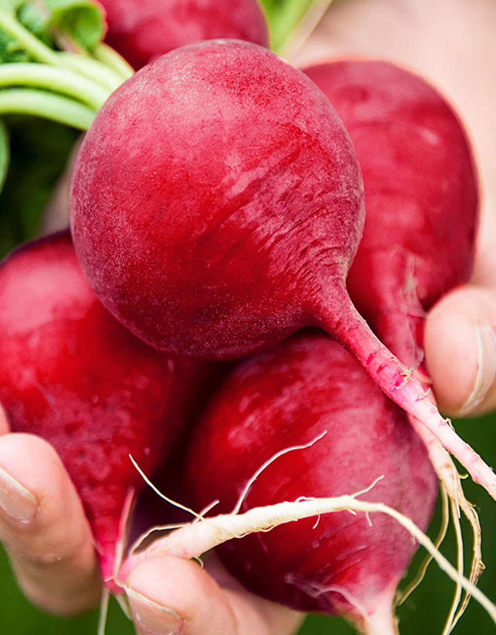 Radish  'German Giant' - Raphanus sativus