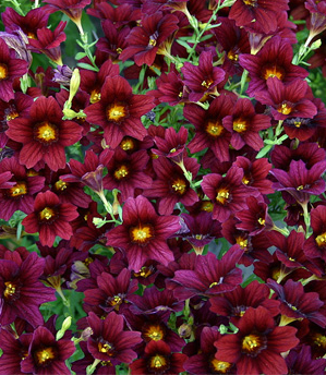 PAINTED TONGUE 'Black Trumpet' - Salpiglossis sinuata