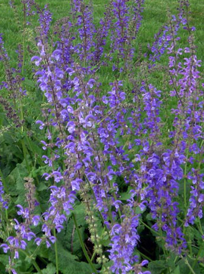 Meadow Sage - Salvia pratensis