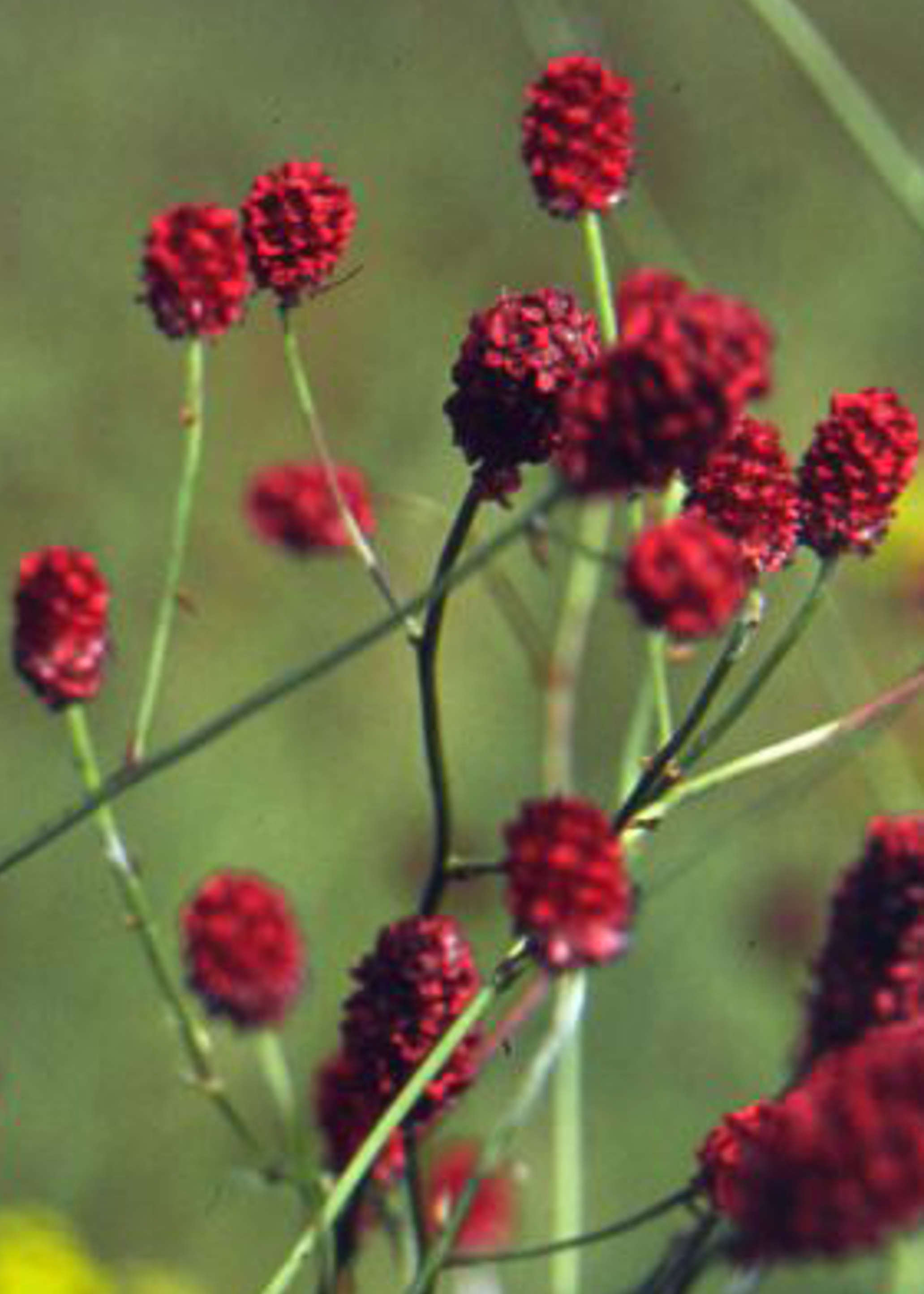 Great Burnet - Sanguisorba officinalis