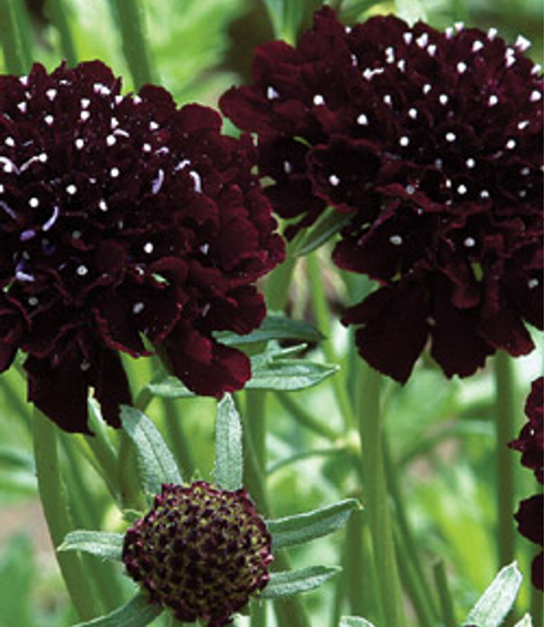 PINCUSHION 'Black Knight' - Scabiosa atropurpurea 'black'