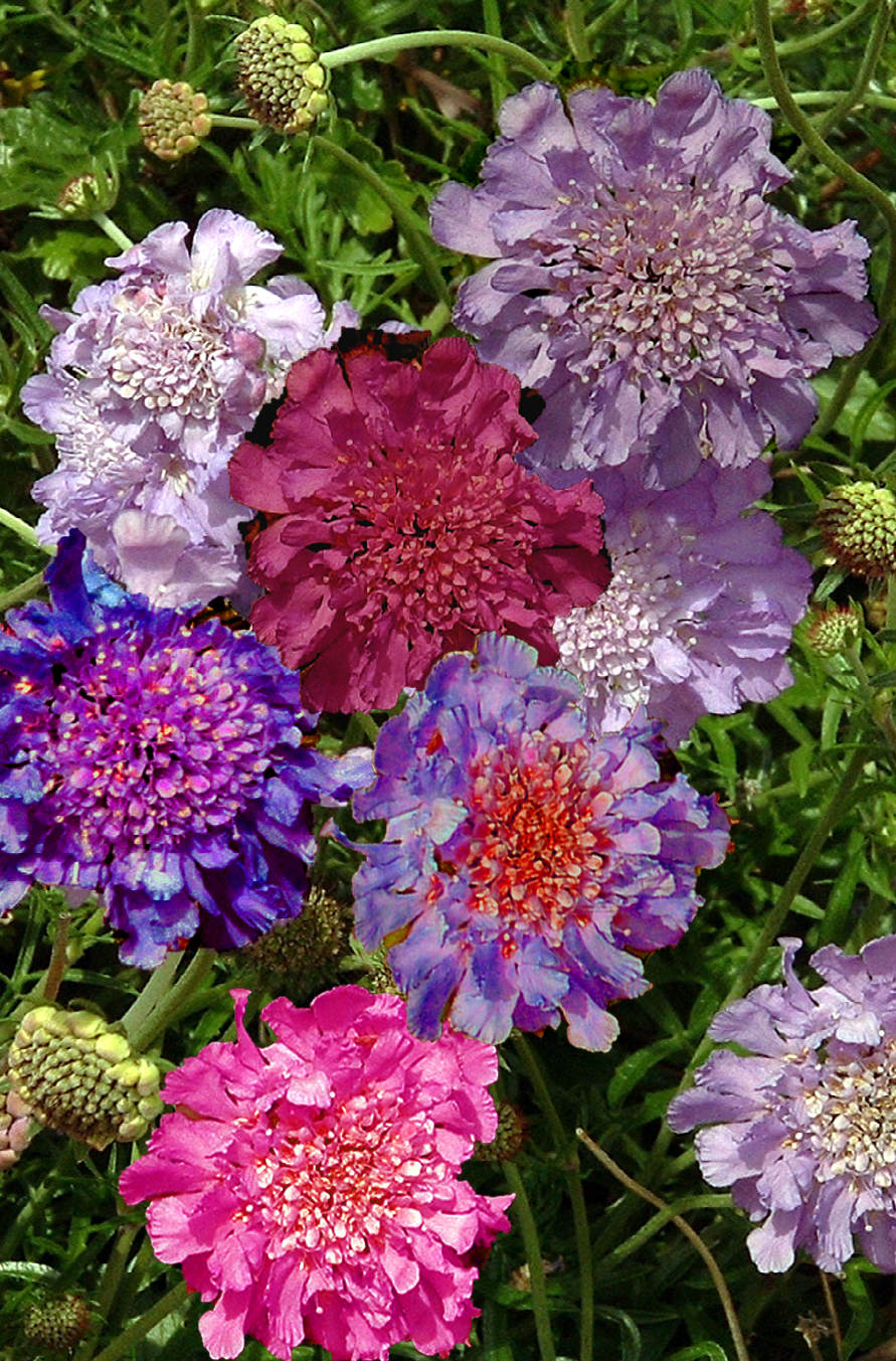 PINCUSHION PLANT Mix - Scabiosa atropurpurea 'Mixed'