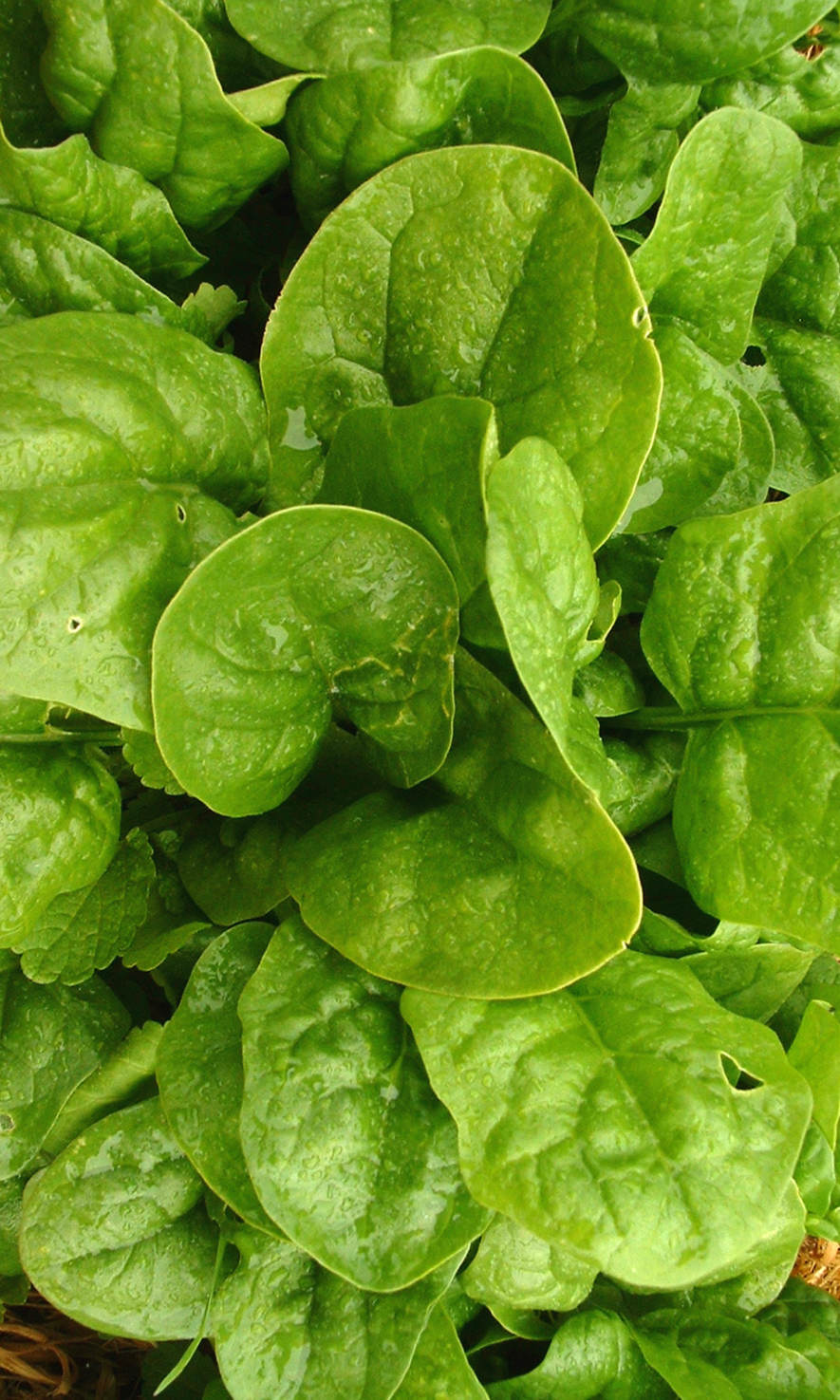 Spinach 'Steadfast' - Spinacea oleracea