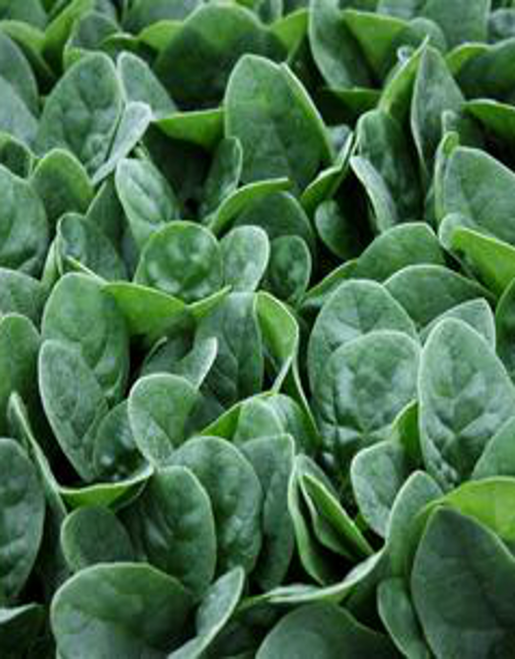 Spinach 'Seaside' F1 - Spinacea oleracea