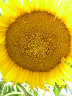 SUNFLOWER 'Giant Russian' - Helianthus annus 'Giant Russian'
