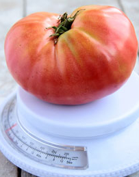 Tomato 'German Johnson' - Lycopersicon esculentum