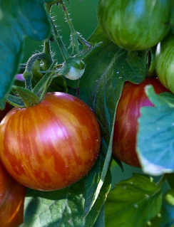 TOMATO 'Mr Stripey' - Lycopersicon esculentum