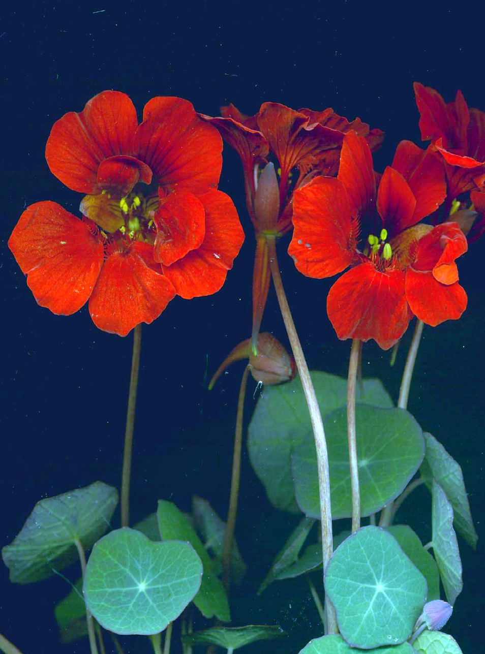 RED NASTURTIUM 'Empress of India' - Tropaeolum minus