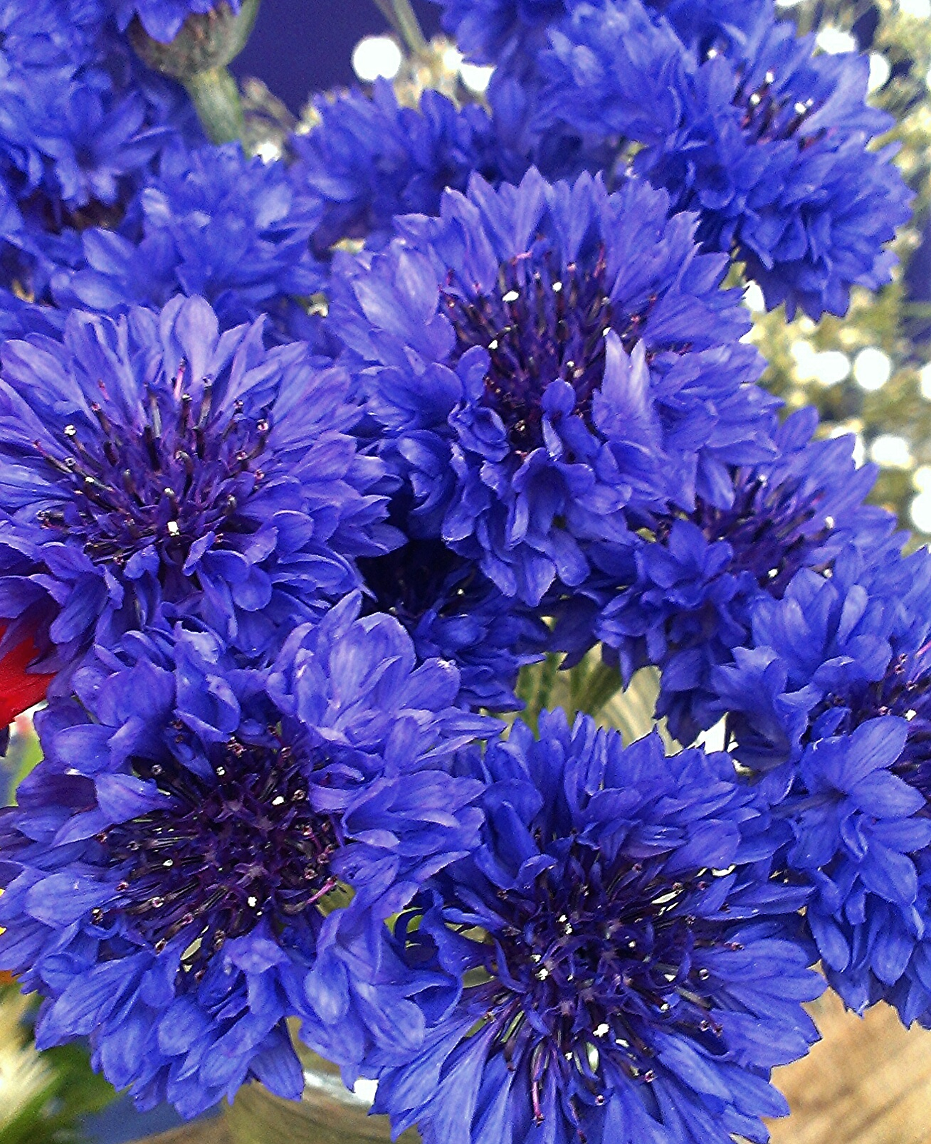 Cornflower, Annual  'Blue Boy'  - Centaurea cyanus 'Blue Boy'