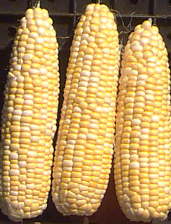 Sweet Corn 'Polaris' F1  - Zea mays
