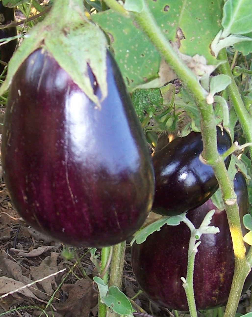 EGGPLANT 'Black Beauty' - Solanum melongena