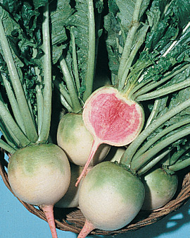 RADISH 'Watermelon' - Raphanus sativus