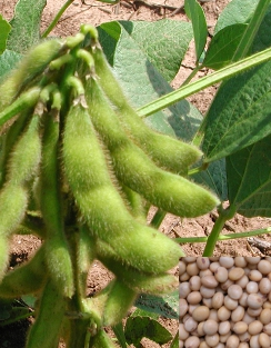 SOYBEAN - Glycine max