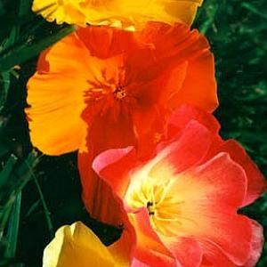 CALIFORNIAN POPPY - Eschscholtzia californica