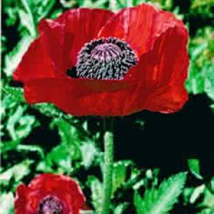 RED ORIENTAL POPPY - Papaver orientale 'Beauty of Livermere'