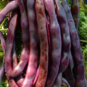 BEAN - CLIMBING  'Purple King' - Phaseolus vulgaris