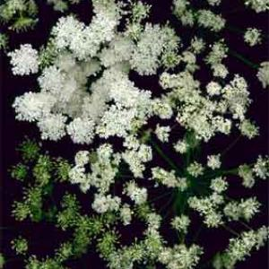QUEEN ANNE'S LACE - Ammi majus