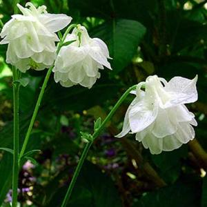 WHITE DOUBLE COLUMBINE - Aquilegia vulgaris plena 'Alba'