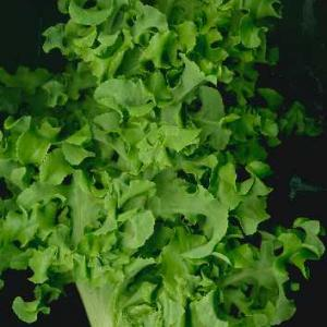 Lettuce 'Green Salad Bowl' - Lactuca sativa