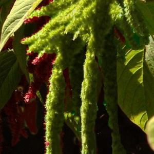 Love Lies Bleeding (Green) - Amaranthus caudatus 'Viridus'